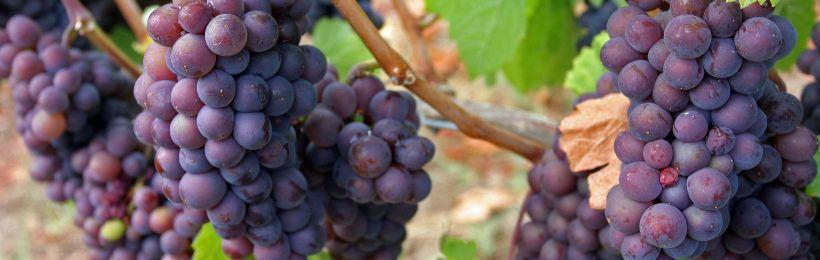 Cépage Pinot Gris