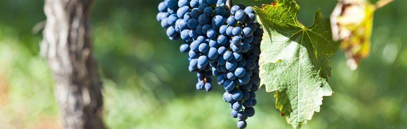 Cépage Pinot Noir
